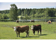 Lehmiä rantaniityllä
