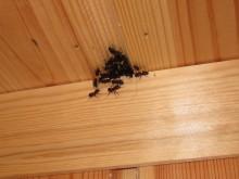 SVART JORDMAUR_Arbeiderne til svart jordmaur er 3-5 mm lange og forekommer vanligvis i stort antall.