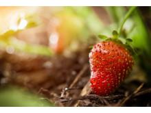 Quality Hotel Winn, Göteborg, tar ett stort kliv fram genom att förvandla hotellets hela matavfall till bördig mylla och solmogna jordgubbar.
