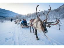 Slædetur med rensdyr tværs over snelandskabet ved Tromsø