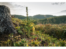 Skogplante i Vesterå, Bangdalen