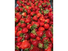 Rumba är en av de tidigaste jordgubbssorterna.