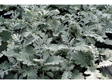 Senecio Cineraria maritima, Dusty Miller Quicksilver