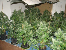 Op Brut cannabis farm dismantled by Merseyside Police