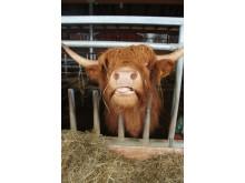 Ko på 4H-lantruket Hästa gård