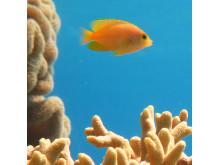 Frökenfisk