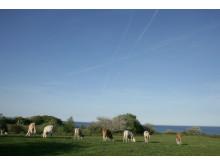 Djur som betar på naturbetesmarker bidrar till biologisk mångfald