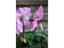 Rosa paraplycyklamen, Cyclamen persicum 'Pink Fleur en Vogue´