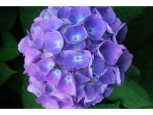 Få blomster er så tindrende blå som blå hortensia