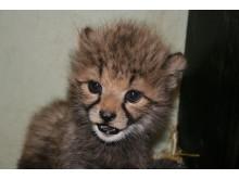 Gepardungarna ute för första gången - 3