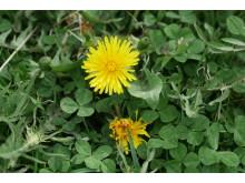 Spara maskrosor och klöver i gräsmattan i sommar så blir bina glada.