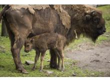 Nyfödd visentkalv på Borås Djurpark