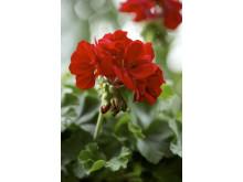 Kärlekspelargon Calliope 'Dark red'