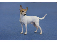 American toy terrier – ny ras 2016