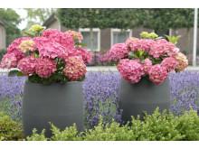 Forever&Ever - perenn trädgårdshortensia som passar både i trädgård och kruka