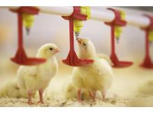 gula kycklingar äter