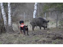 Rapport föreslår förenklingar av att sälja vildsvinskött