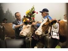 Schmücken der Kühe für den Alpabzug nach  Charmey
