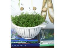 Hemtrevnad Soleirolia soleirolii spagettisilen