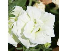 Petunia SweetSunshine Pearl
