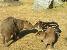 Tapirunge föddes på kronprinsessans födelsedag