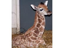 Nyfödd giraffkalv