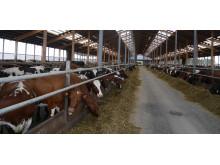 Offentlig upphandling av livsmedel måste utgå från de svenska djurskyddskraven.