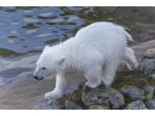 Ranua Polar Bear Cub 11
