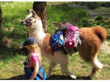 Lama-Trekking im Tessin