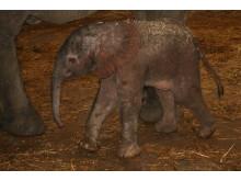 Elefantfödsel i Borås Djurpark 1