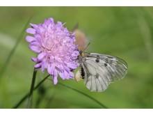 Fjäril på åkervädd