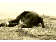 Hund som vilar i sanden