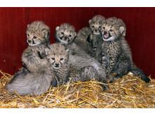 Gepardungarna i Borås Djurpark 5 veckor