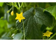Lottentorps gurkplantor