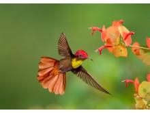 Den første Ruby Topaz Kolibri har blitt sett på Tobago