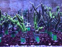 Korallodling på Sjöfartsmuseet Akvariet. På bilden syns två arter inom släktet Acropora.