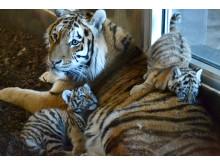 Tiger + ungar Orsa Rovdjurspark 2018