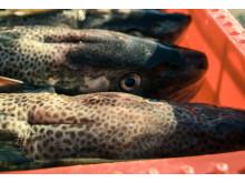Fortsatt förbud av torskfiske i Östersjön