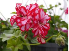 Pelargoniumpeltatumrosastriperprve2_red