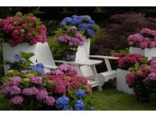 Forever&Evers trädgårdshortensia finns i rött, vitt, rosa och blått