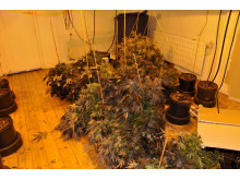 Cannabis Farm - Thomas Lane