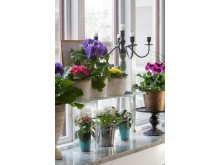 Vår på fönsterbrädan med primula, våreld, saintpaulia och engelsk pelargon