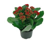 Lucka nr 9 - Calandiva i en Blomstrande Julkalender