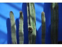 Suckulenter i härlig färgkombination, del av utställningen Kaktus i kubik signerad Växtverket.