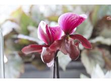 Orkidé Paphiopedium x maudiae 'Black Jack'