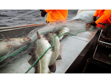 Torskefiske med garn. Cod