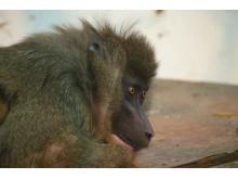 Parken Zoos nya drillhona