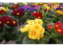 Over hele landet venter primula i veksthusene på å få erstatte julens blomster hjemme