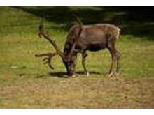 Ren som betar. Källa: www.fotoakuten.se
