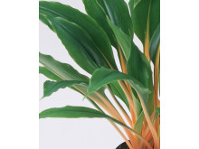 Chlorophytum orchidastrum Green Orange®